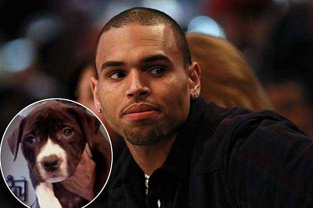 Chris Brown Princess Pitbull