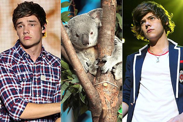 Liam Koala Harry